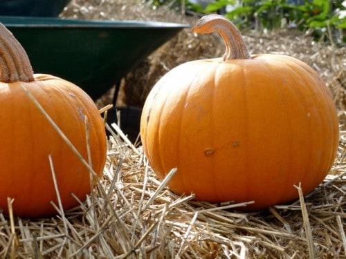 Pumpkins on Bales of Hay