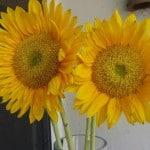 Sunflowers and Sunday Sampling
