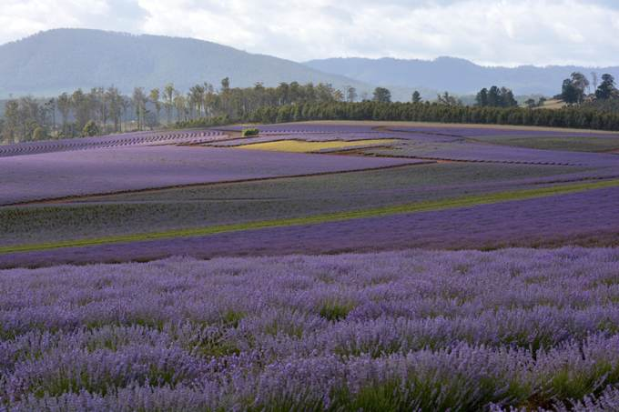Fragrant Lavender Fields