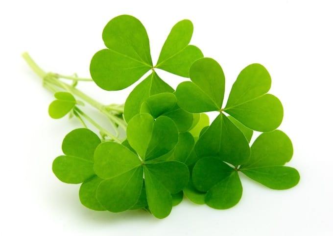 Shamrock 3 leaf clover