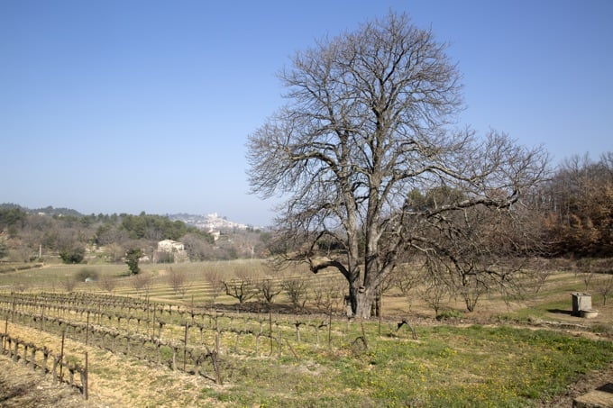 Bare Winter Tree in Countryside outside Bonnieux; Provence, France