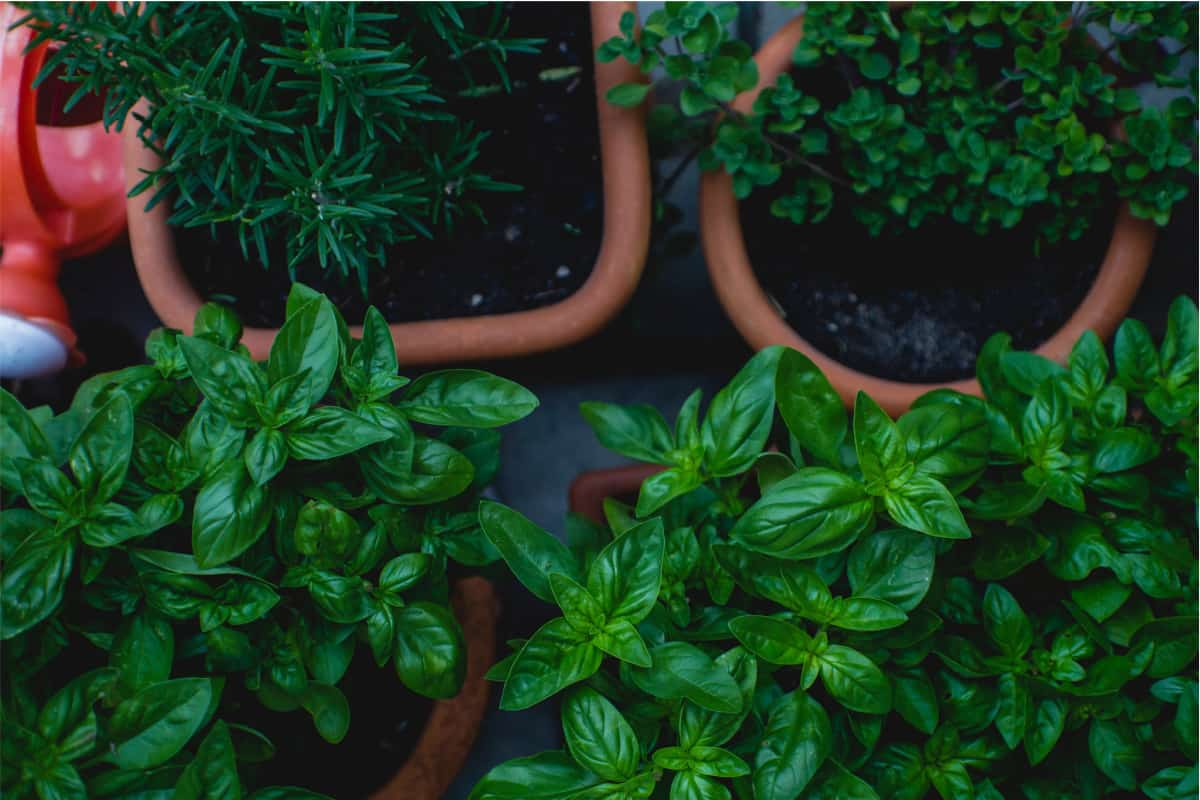 Potted herbs including fresh basil and rosemary from above.